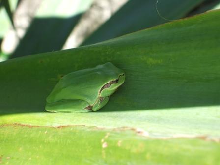 rainettes et autres grenouilles Dscf3414