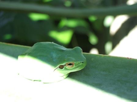 rainettes et autres grenouilles Dscf3415