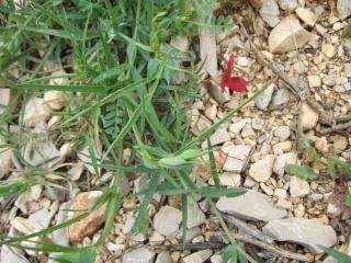 Lathyrus cicera - jarosse, gessette Dscf3517