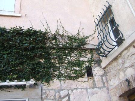 Ficus pumila Dscf3616