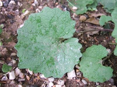 Alliaria petiolata - alliaire Dscf3634