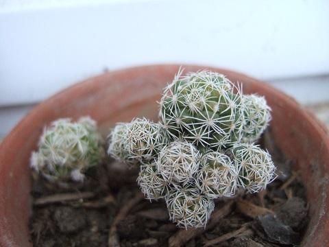 Mammillaria vetula ssp gracilis 'Arizona Snowcap' Dscf3824