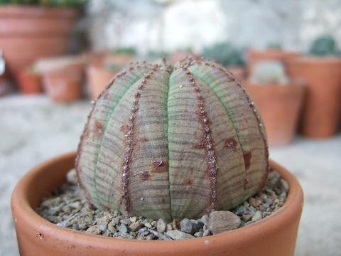 Euphorbia obesa  Dscf4016