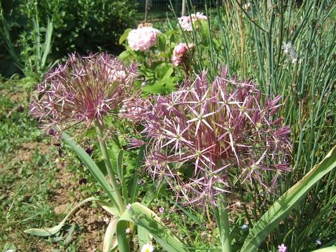 Allium cv ? - ail d'ornement [id. non terminée] Dscf4411