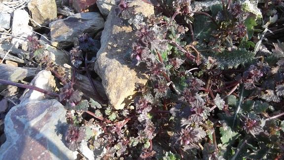 Lamium hybridum - lamier hybride Dscf4518