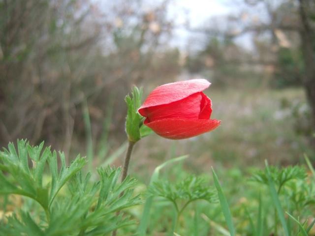 Anemone coronaria - anémone couronnée Dscf8113
