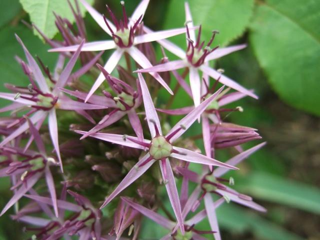 Allium cv ? - ail d'ornement [id. non terminée] Dscf8712