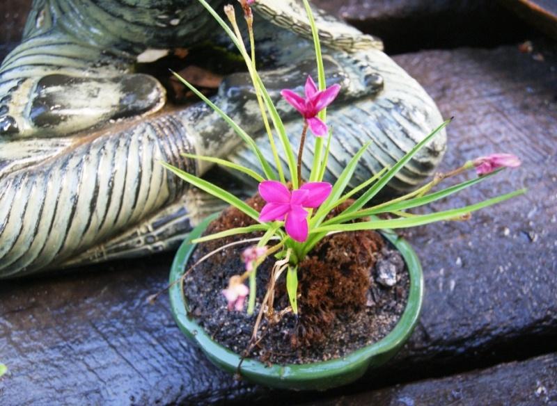 Andre's Kusamono - Page 2 Pinks10