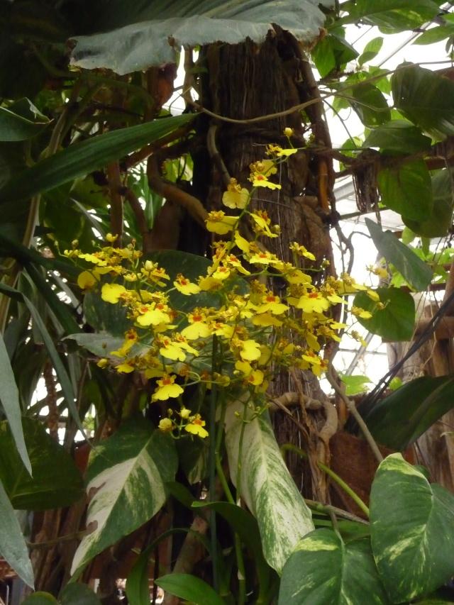 Orchidées à la ferme aux crocodiles P1190414