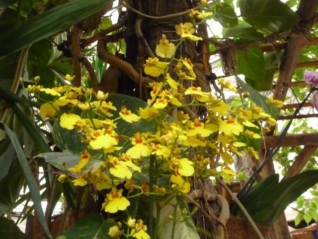 Orchidées à la ferme aux crocodiles P1190415