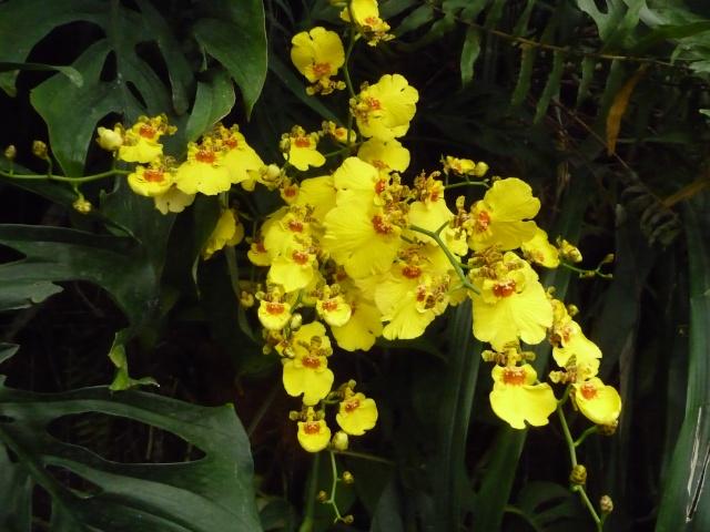 Orchidées à la ferme aux crocodiles P1190417