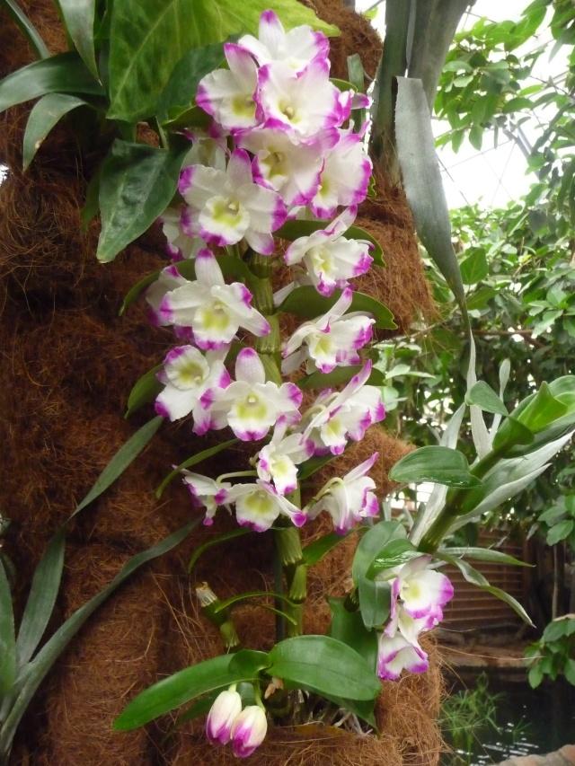 Orchidées à la ferme aux crocodiles P1190424
