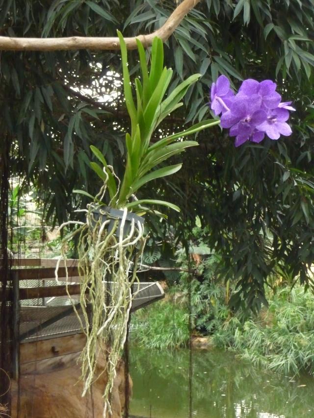Orchidées à la ferme aux crocodiles P1190431