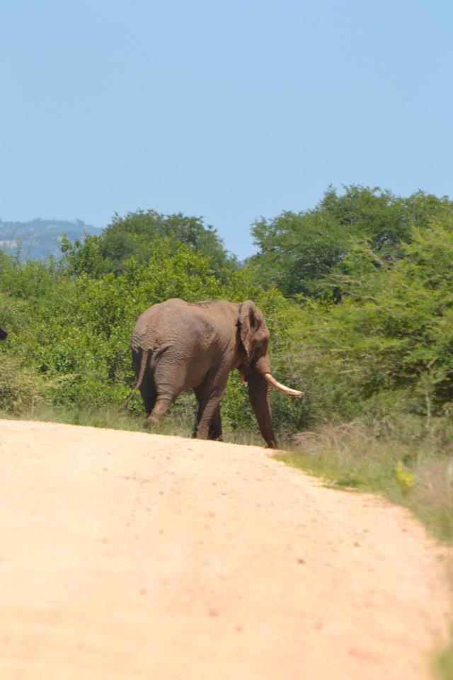 Olifant Rol kar in Kruger 2012-11-13 A1848910