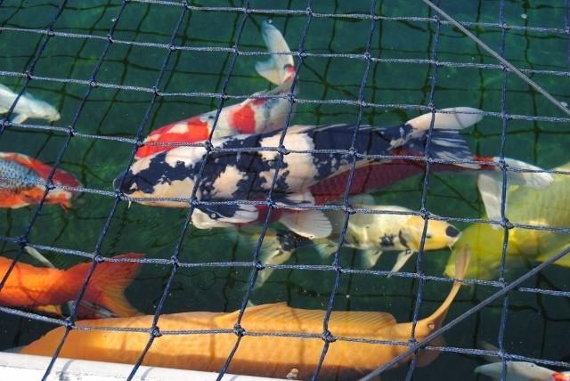 KZN North Koi pond Safari Dsc_0318