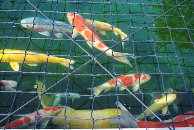 KZN North Koi pond Safari Dsc_0319