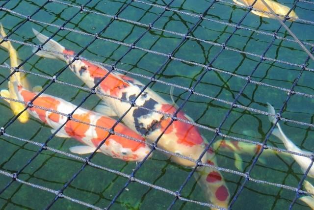 KZN North Koi pond Safari Dsc_0324