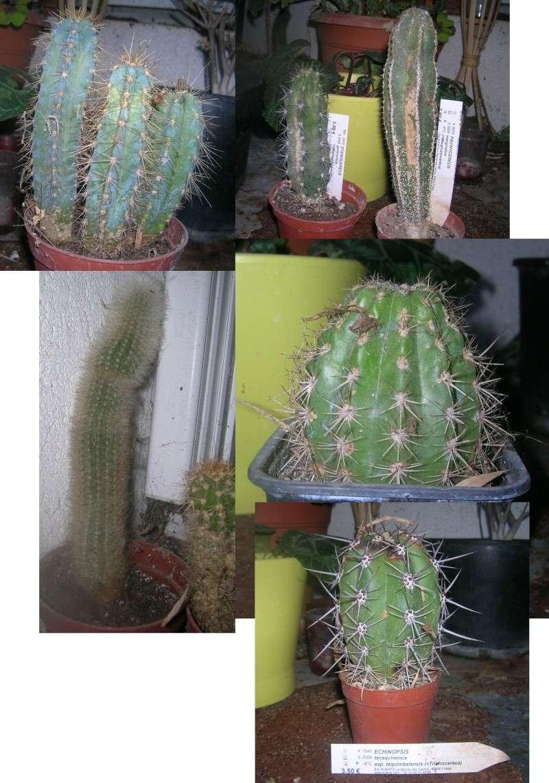 Cactus à adopter... Manque de place... Cactus10