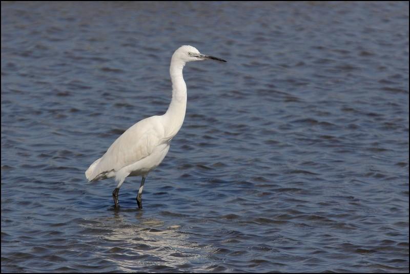 Parc ornitho du Teich (le 10 mars 2013) Aigret10