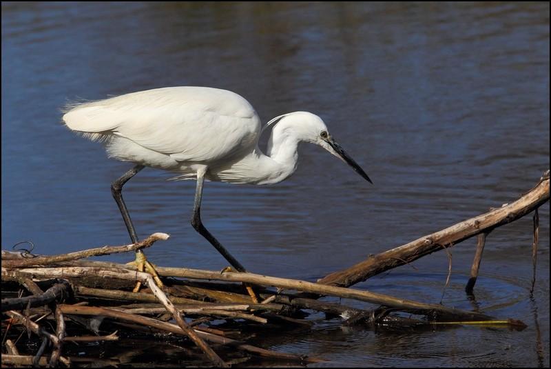 Parc ornitho du Teich (le 10 mars 2013) Aigret11