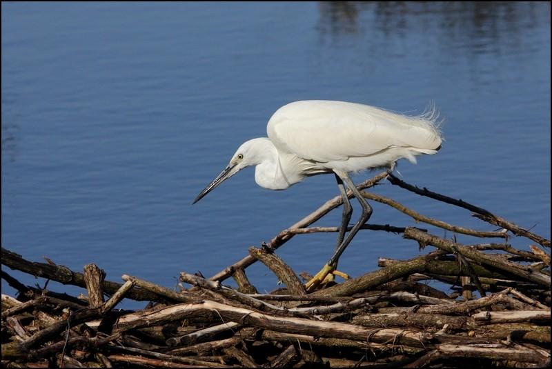 Parc ornitho du Teich (le 10 mars 2013) Aigret12