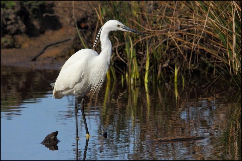 Parc ornitho du Teich (le 10 mars 2013) Aigret14