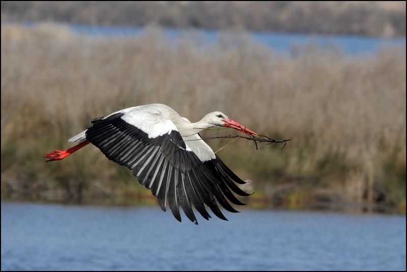 Parc ornitho du Teich (le 10 mars 2013) Cigogn10