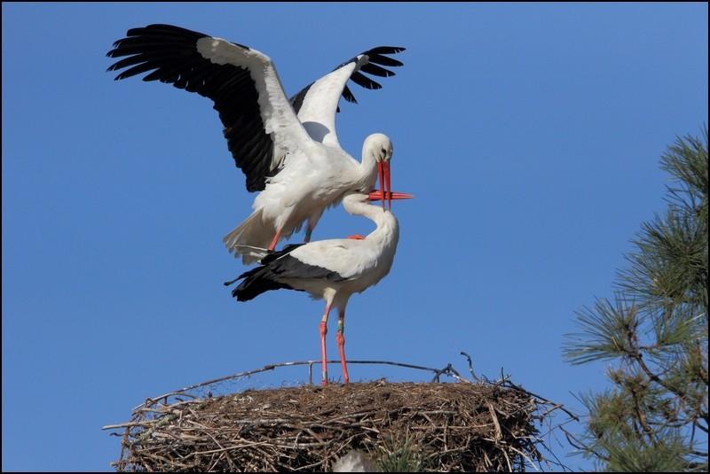 Parc ornitho du Teich (le 10 mars 2013) Cigogn11