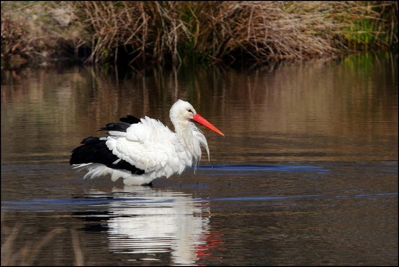 Parc ornitho du Teich (le 10 mars 2013) Cigogn13