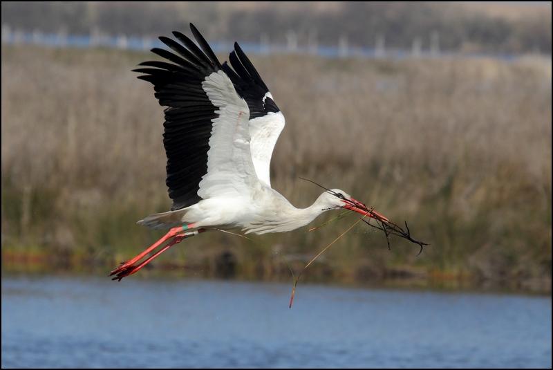 Parc ornitho du Teich (le 10 mars 2013) Cigogn14