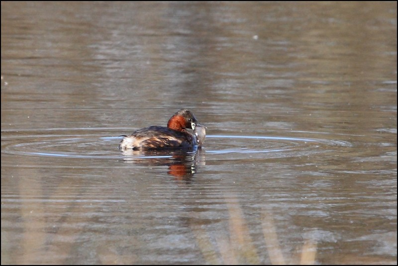 Parc ornitho du Teich (le 10 mars 2013) Grabe_14