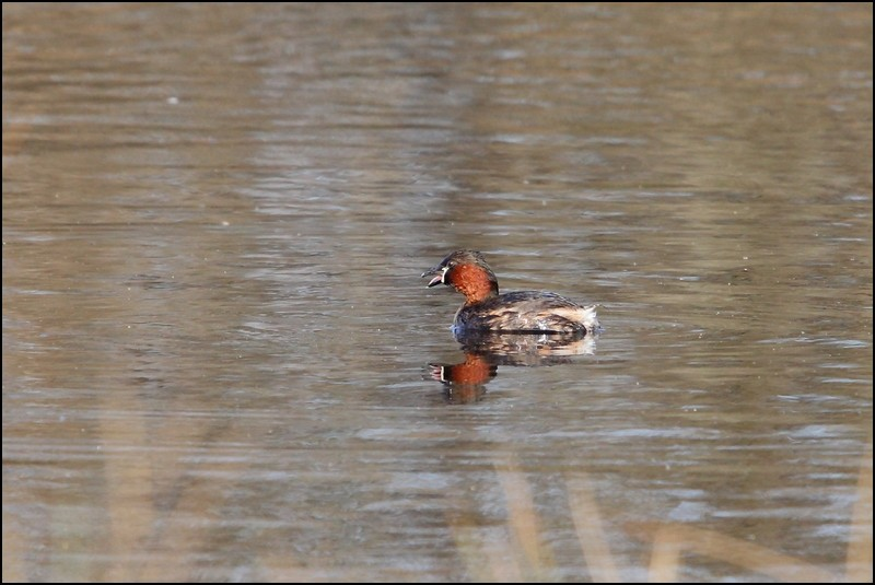 Parc ornitho du Teich (le 10 mars 2013) Grabe_15