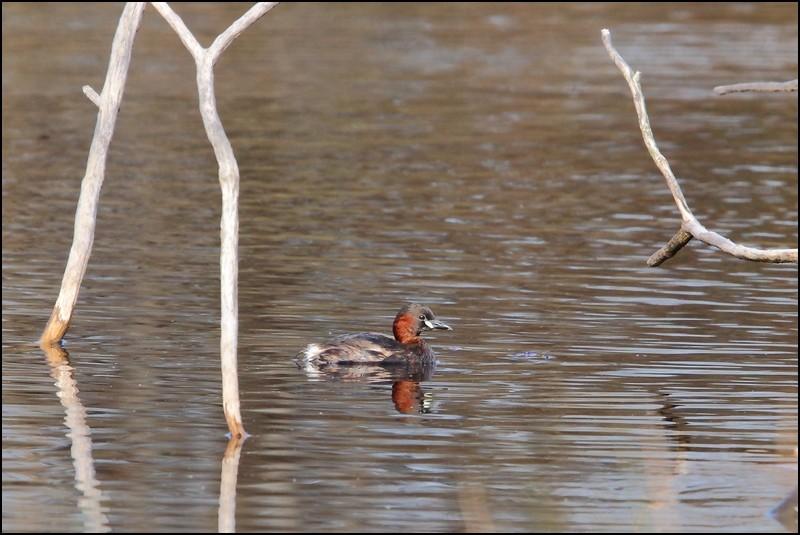 Parc ornitho du Teich (le 10 mars 2013) Grabe_16