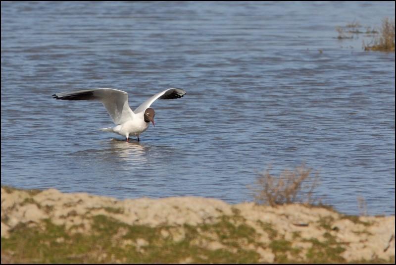 Parc ornitho du Teich (le 10 mars 2013) Mouett10