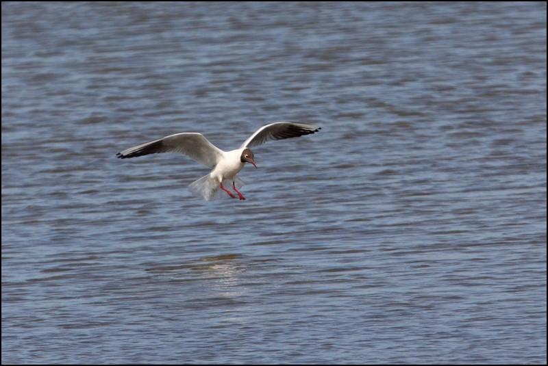 Parc ornitho du Teich (le 10 mars 2013) Mouett11