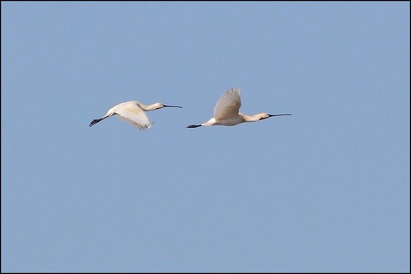 Parc ornitho du Teich (le 10 mars 2013) Spatul10