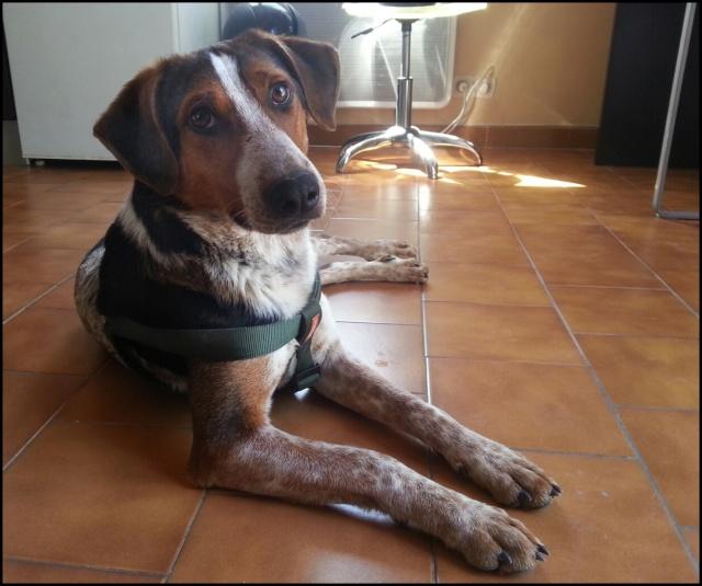 INDIEN croisé Beagle 13662810
