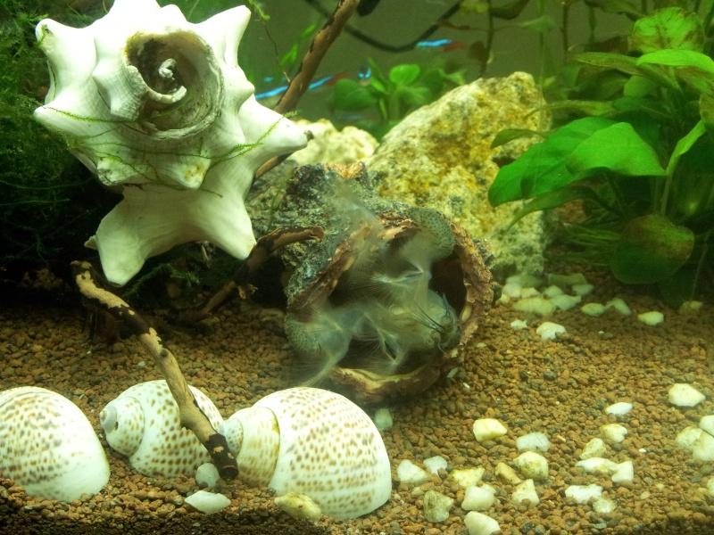 les fans de crevettes filtreuses et autres grosses crevettes - Page 3 2013-023