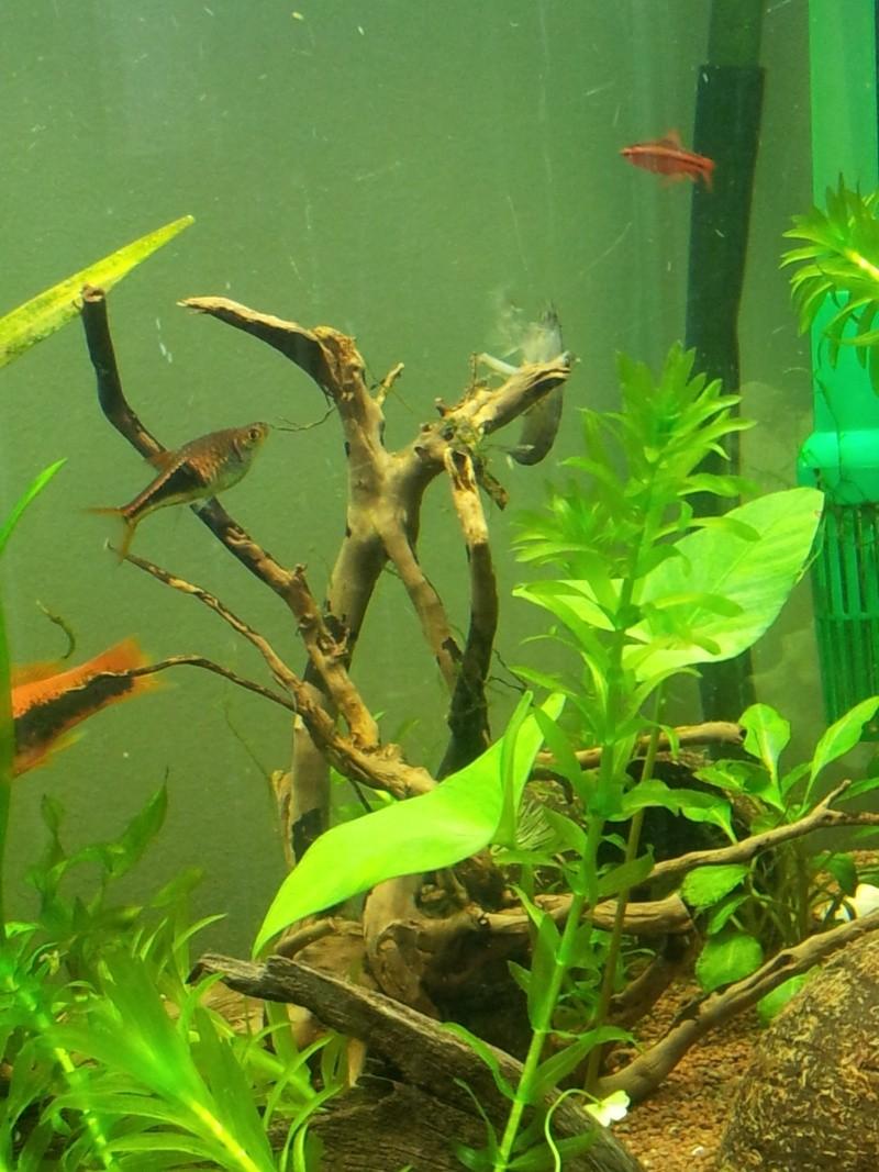 les fans de crevettes filtreuses et autres grosses crevettes - Page 4 2013-034