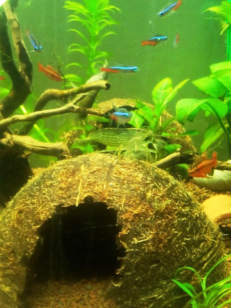 les fans de crevettes filtreuses et autres grosses crevettes - Page 4 2013-036