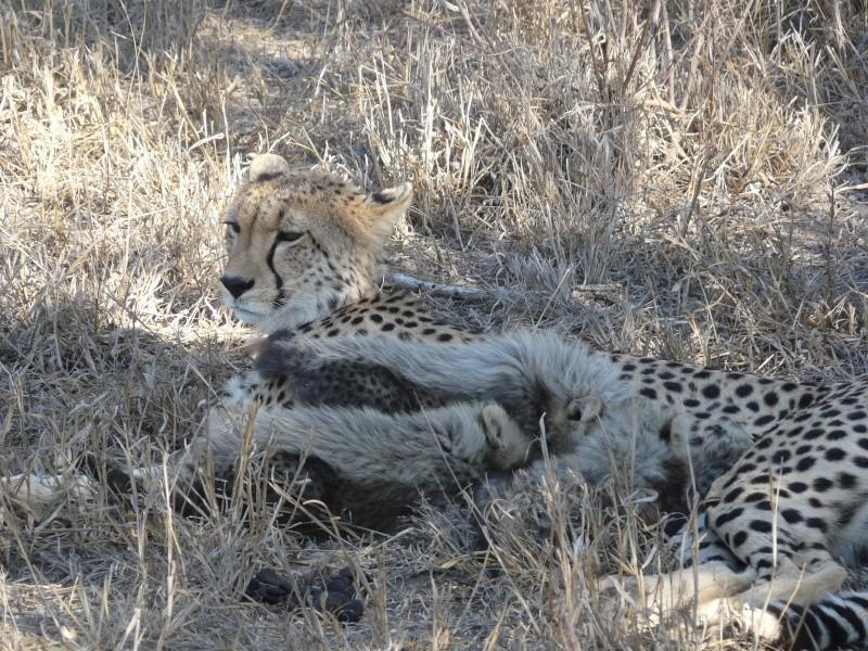 5 Cheetah cubs P1010810