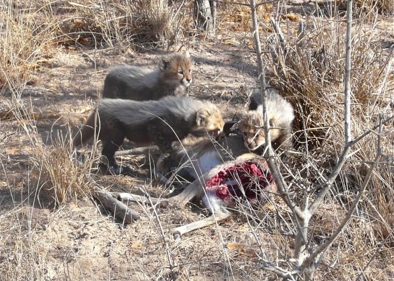 5 Cheetah cubs P1020410