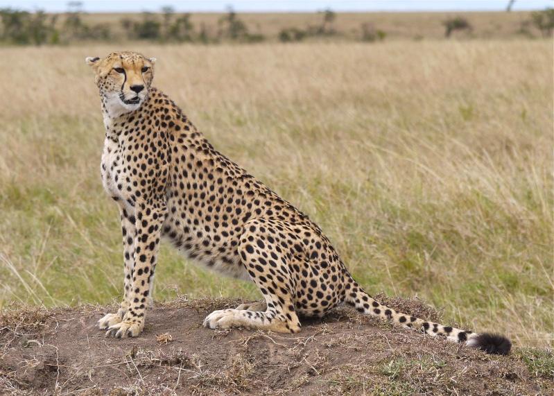 Cheetah and cub, Mara North Conservancy, Kenya, Dec. 2012 P1050410