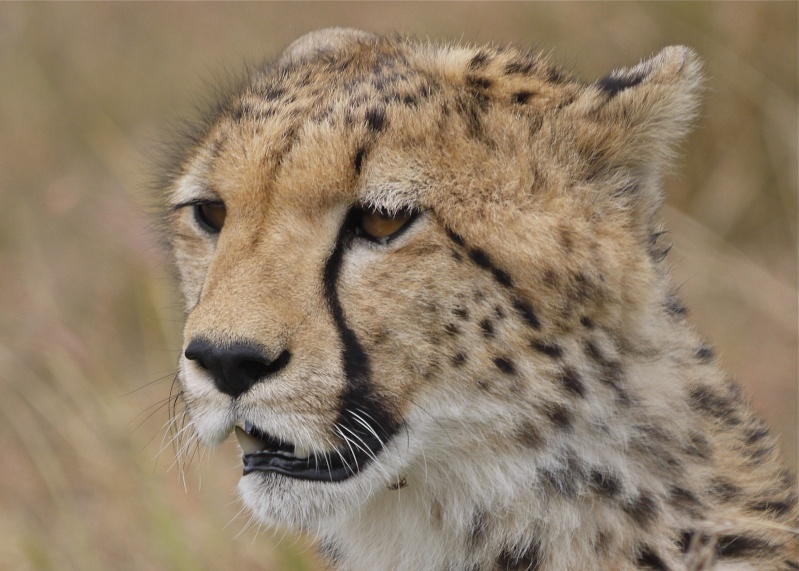Cheetah and cub, Mara North Conservancy, Kenya, Dec. 2012 P1050411