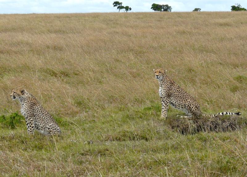 Cheetah and cub, Mara North Conservancy, Kenya, Dec. 2012 P1050610