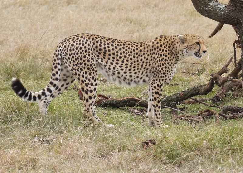 Cheetah and cub, Mara North Conservancy, Kenya, Dec. 2012 P1050710