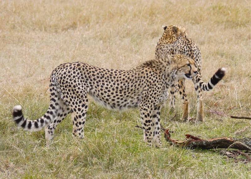 Cheetah and cub, Mara North Conservancy, Kenya, Dec. 2012 P1050711