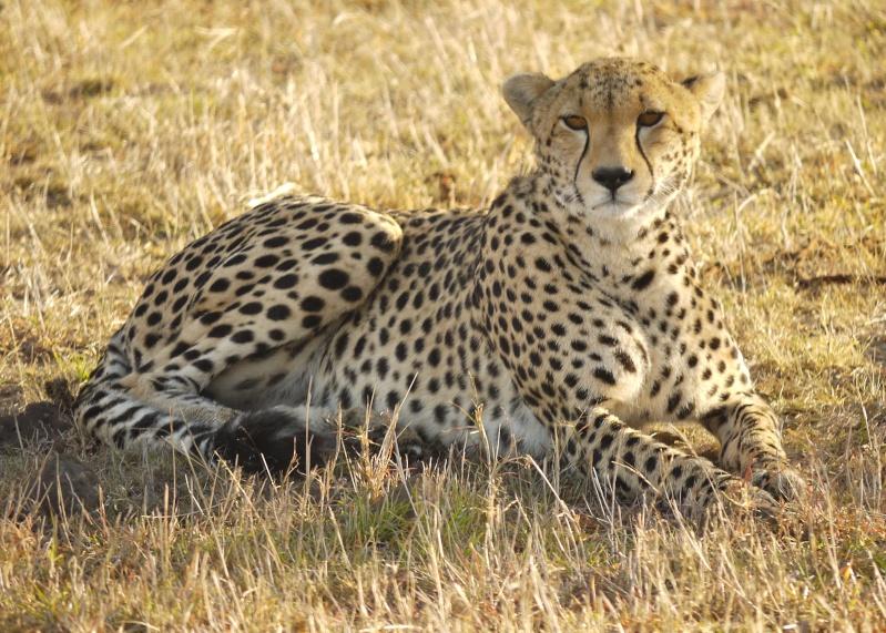 Cheetah and cub, Mara North Conservancy, Kenya, Dec. 2012 P1060510