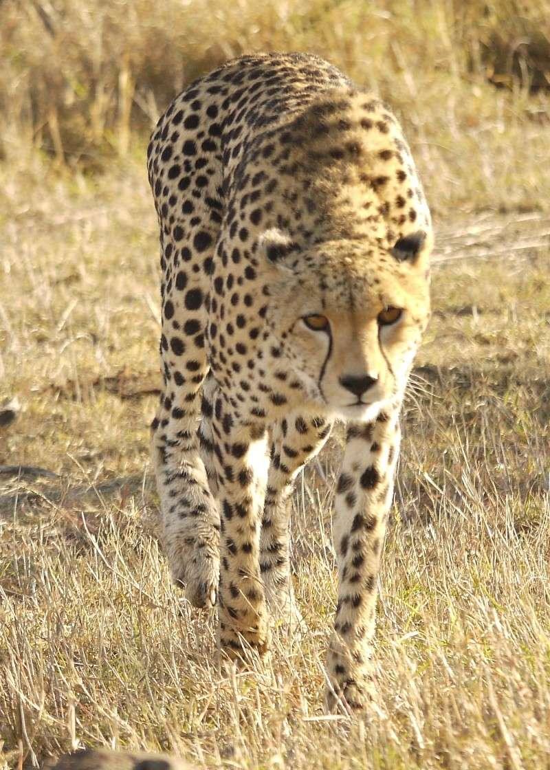 Cheetah and cub, Mara North Conservancy, Kenya, Dec. 2012 P1060511