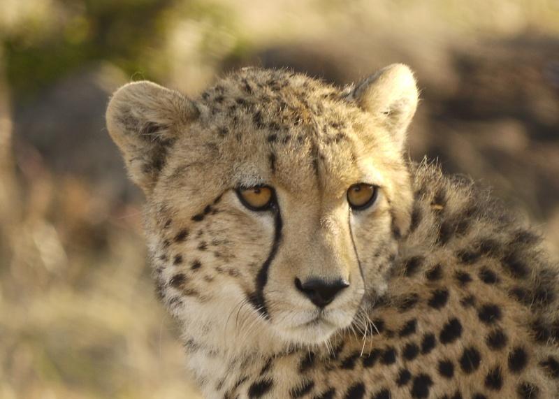 Cheetah and cub, Mara North Conservancy, Kenya, Dec. 2012 P1060514